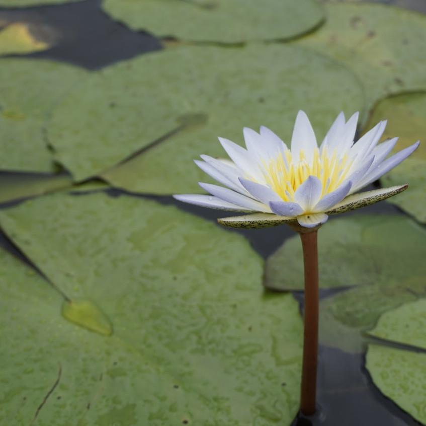 Lily in Okavango Delta