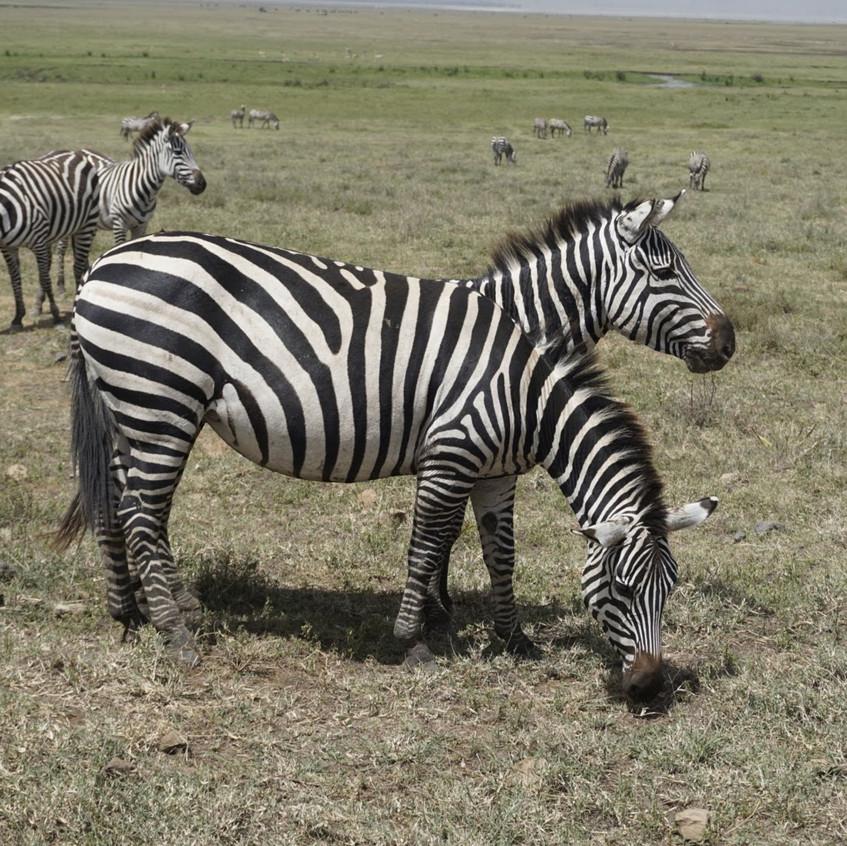 Optical Illusion Zebras in Serengeti National Park