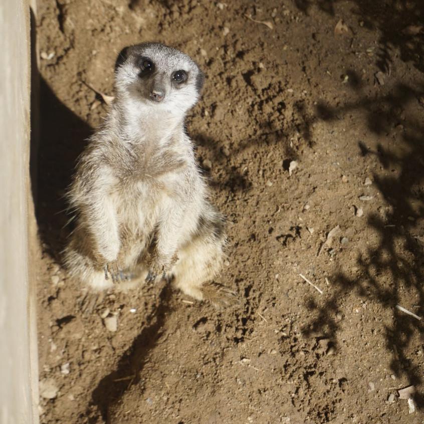 Meerkat at Cango Wildlife Reserve