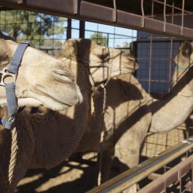 Camels at Camel Farm
