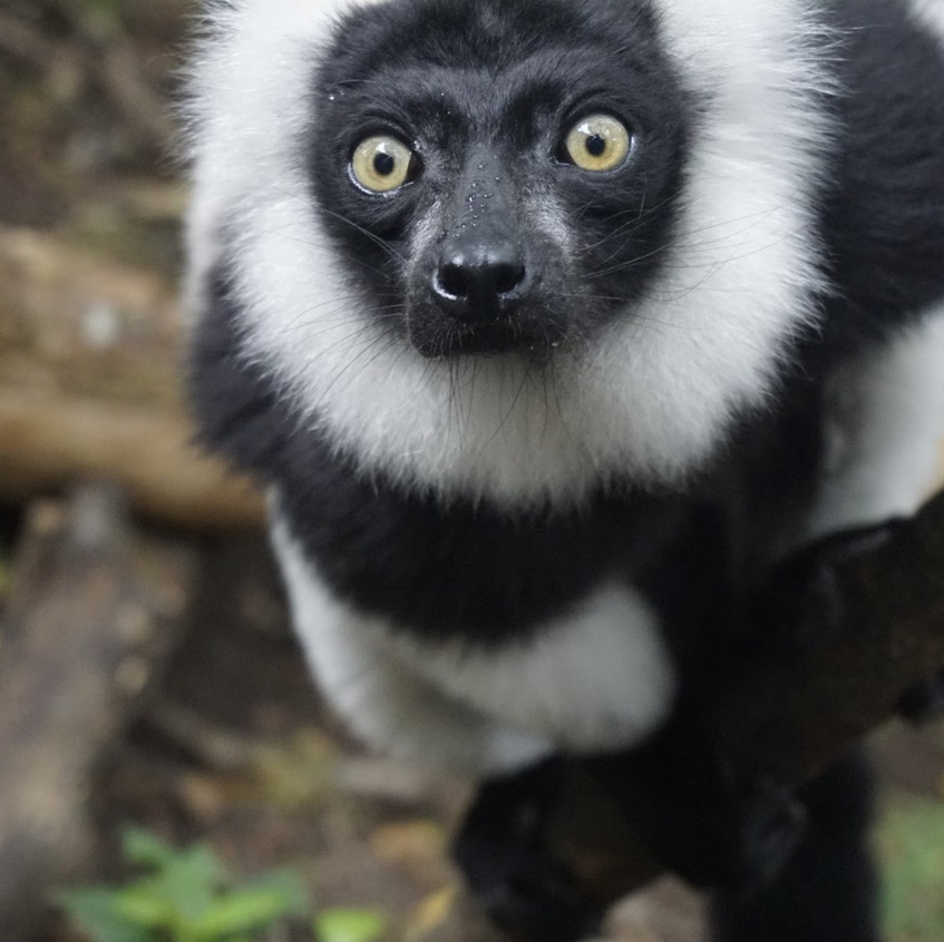 Lemur at Monkeyland, Plettenberg Bay