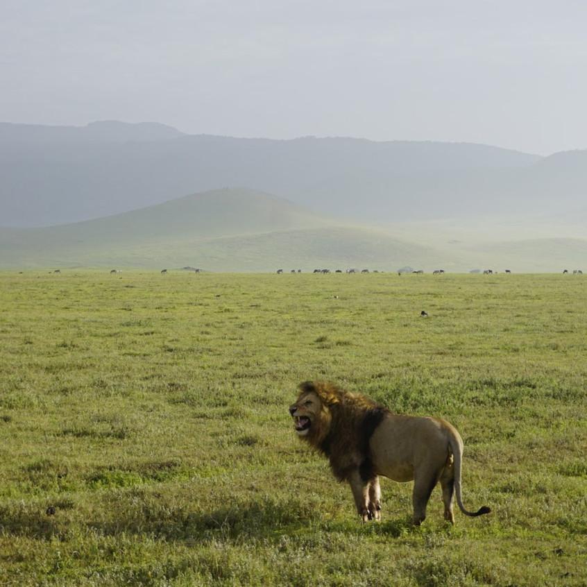 Lion Roaring in Ngorongoro Crater