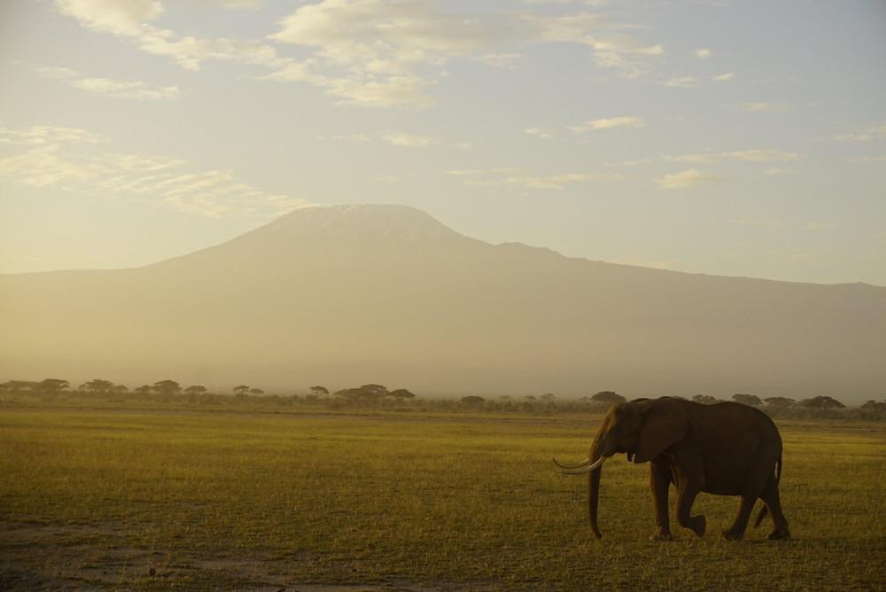 Elephant in front of Kilimanjaro, Amboseli National Park