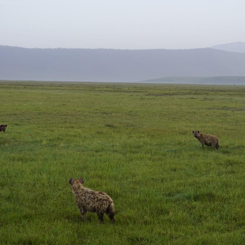 Hyena Stand Off in Ngorongoro Crater
