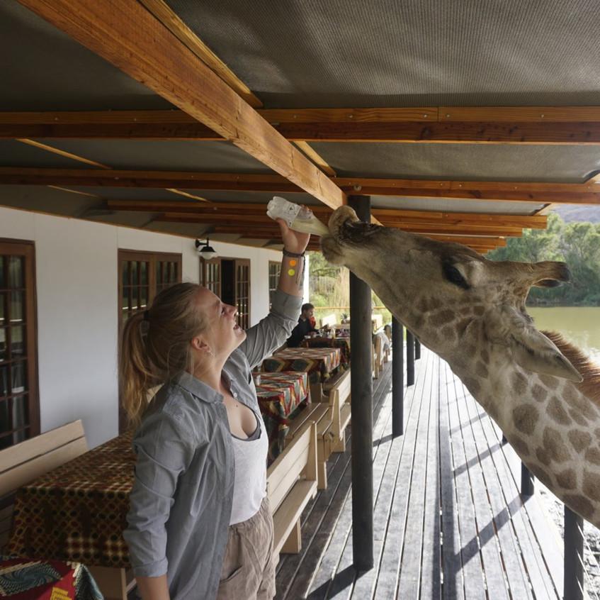 Missy bottle feeding giraffes at Oudtshoorn