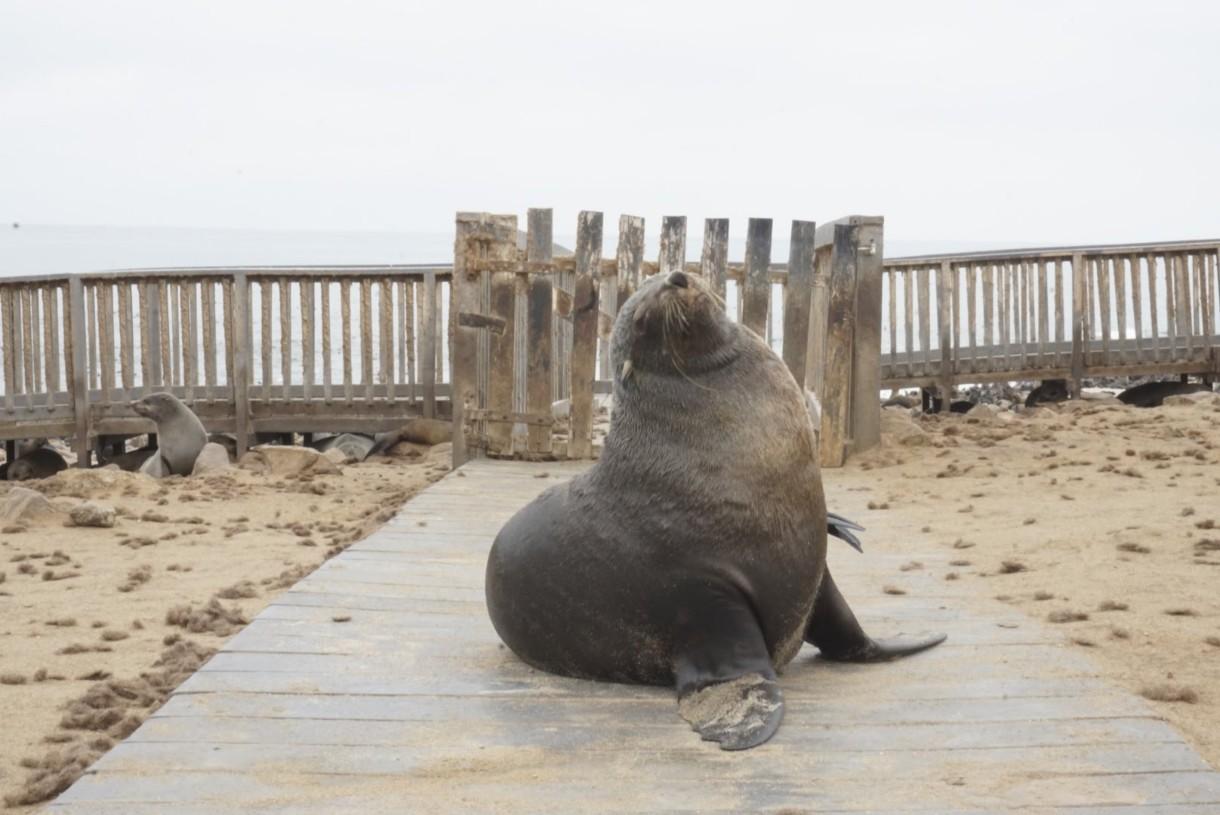 Guard seal at Cape Cross