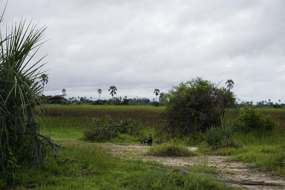 The large spotted genet on walking safari in Okavango Delta
