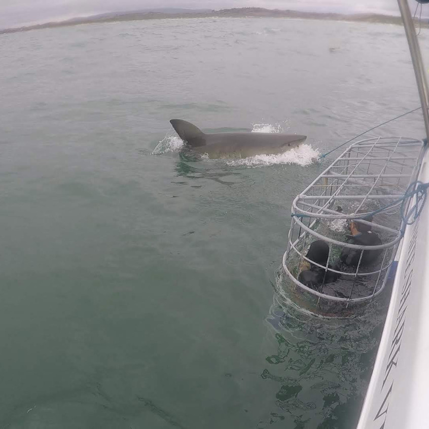 Cage diving with great white sharks, Gansbaai