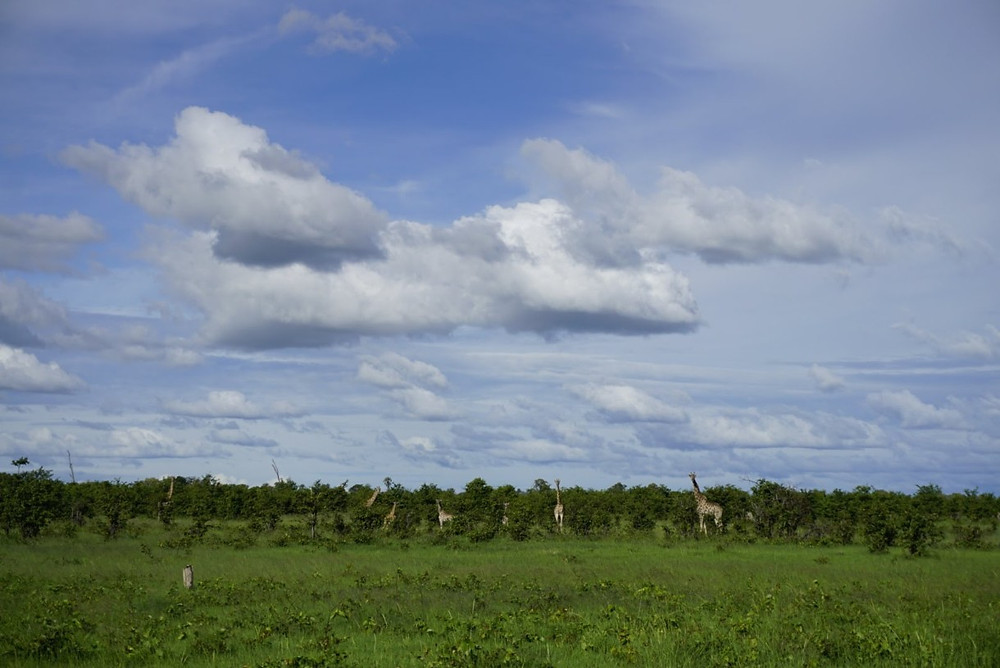 Giraffes on walking safari in the Okavango Delta