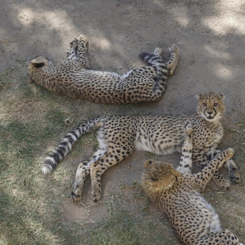Cheetahs at Cango Wildlife Reserve