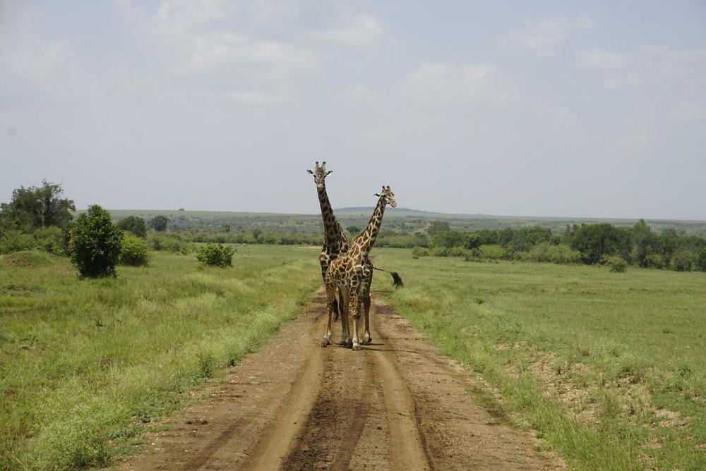 Giraffes on safari in Masai Mara, Kenya