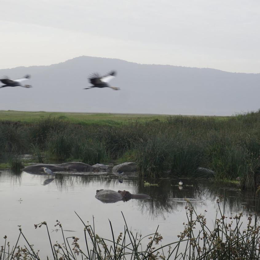 Hippos in Ngorongoro Crater