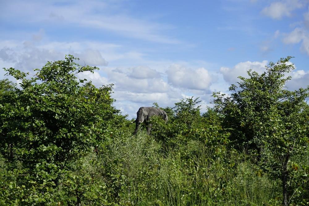 Elephant on walking safari in Okavango Delta