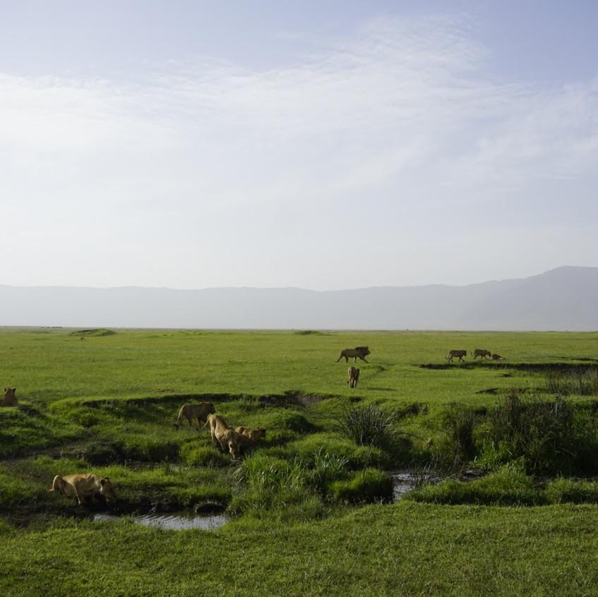 Lion Pride in Ngorongoro Crater