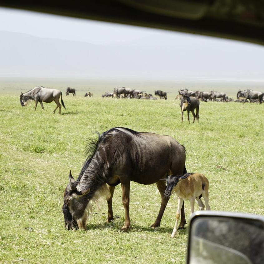 Baby Wildebeest and Mom in Ngorongoro Crater
