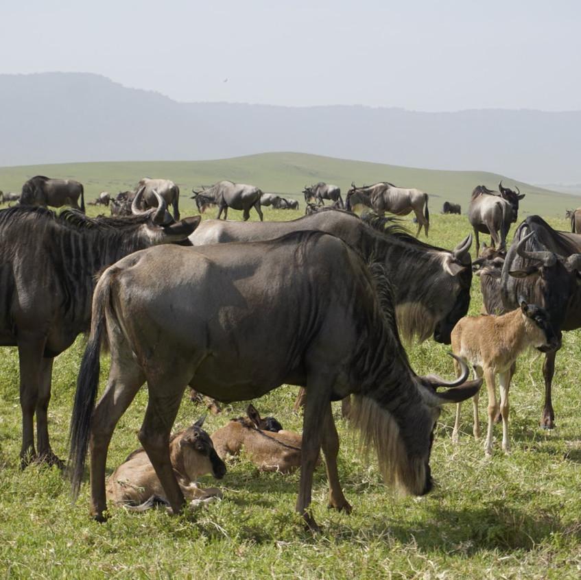 Baby Wildebeests in Ngorongoro Crater