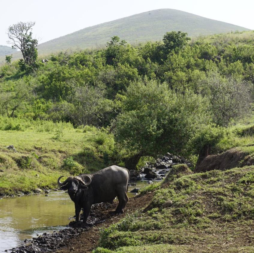 Cape Buffalo in Ngorongoro Crater