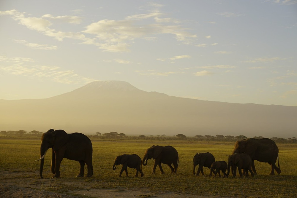 Elephants in front of Kilimanjaro at Amboseli National Park