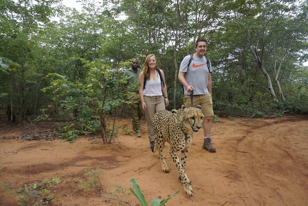 Walking a cheetah on our Cheetah encounter