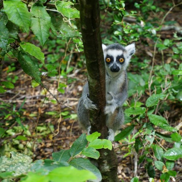 Lemur at Monkeyland