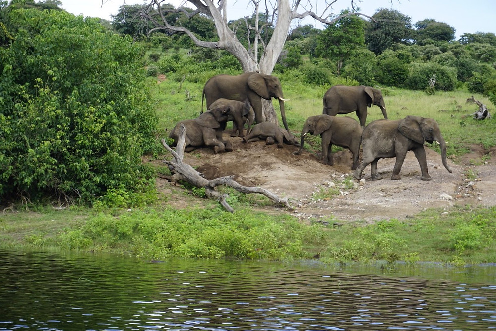 Elephants playing on bank of Chobe River game cruise