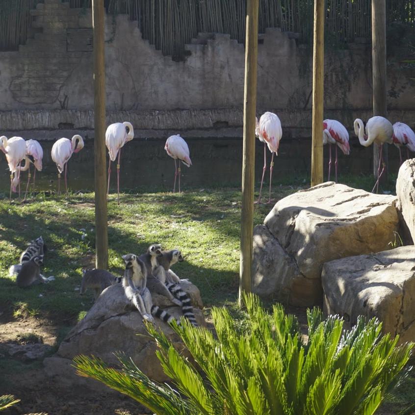 Lemurs and flamingos at Cango Wildlife Reserve