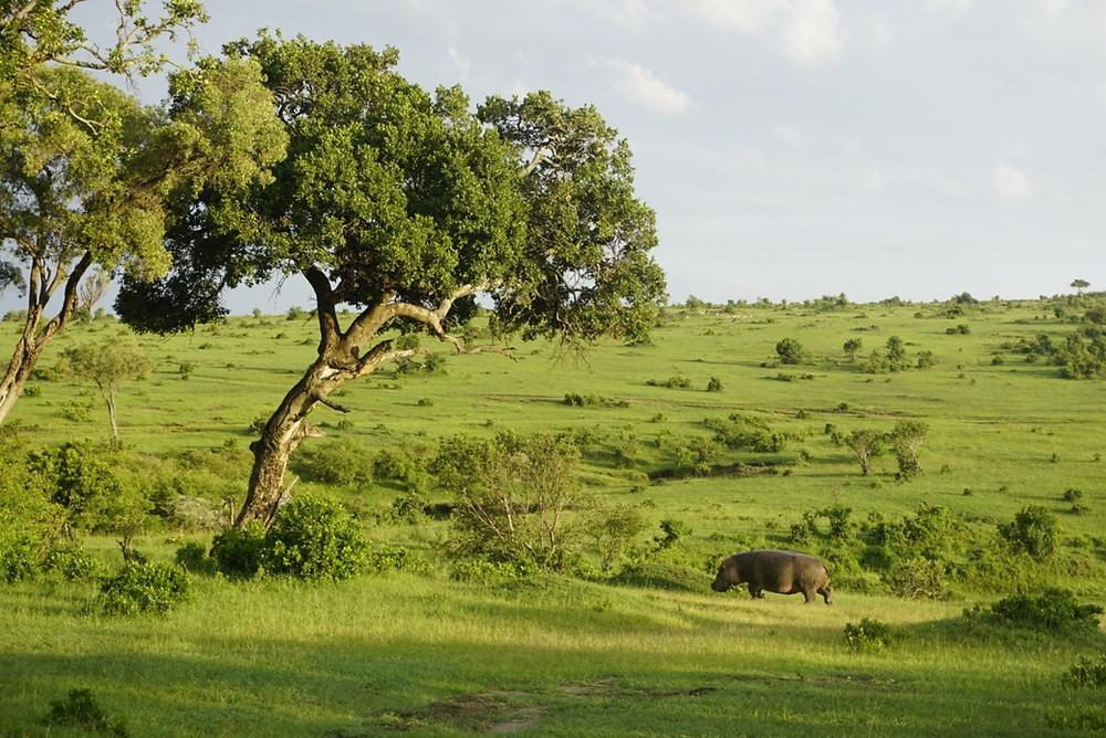 Hippo grazing in Masai Mara Ntnl. Park