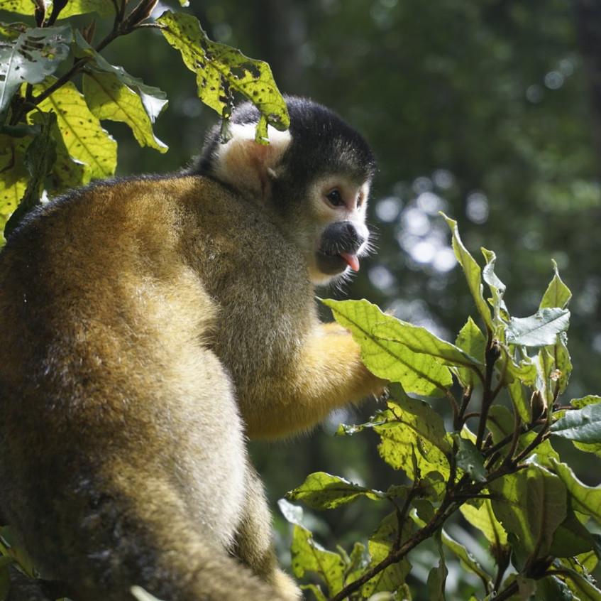Monkey at Monkeyland, Plettenberg Bay