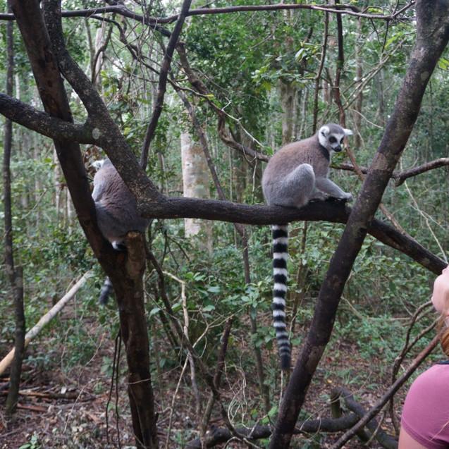 Missy and lemurs at Monkeyland