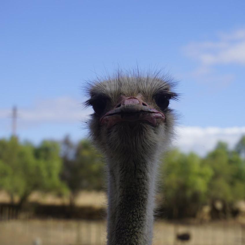 Ostrich at Oudtshoorn