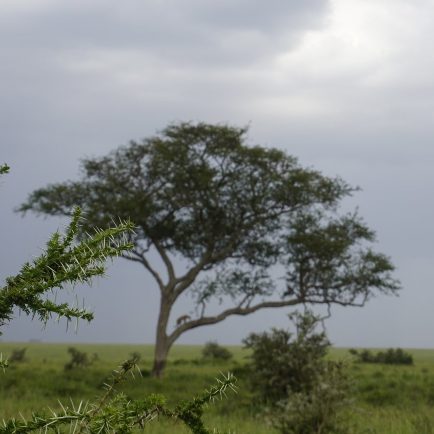 Leopard in a Tree in Serengeti National Park