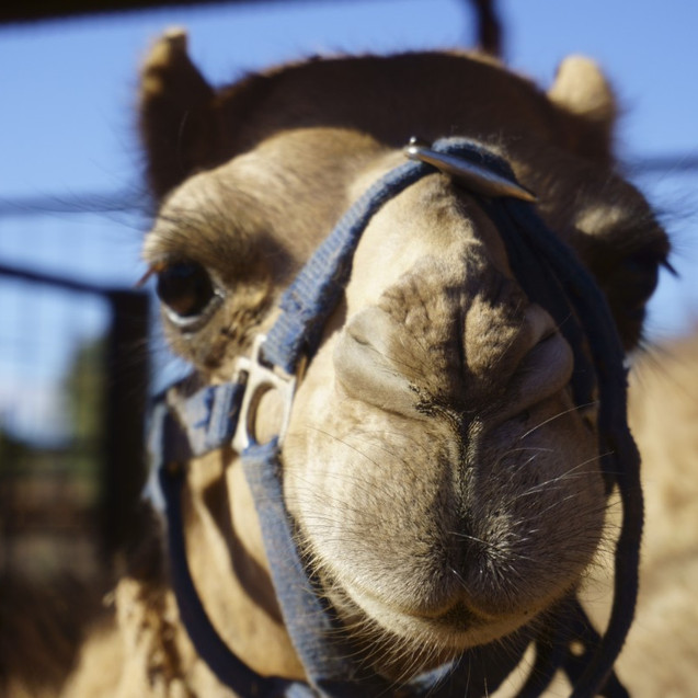 Camel at Camel Farm