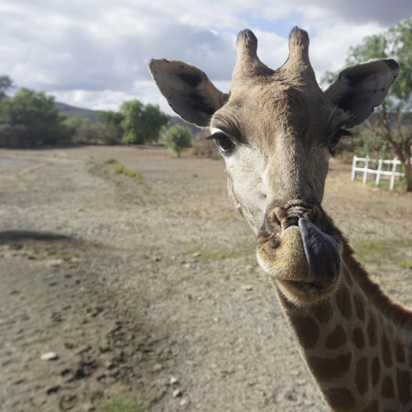 Giraffes at Oudtshoorn