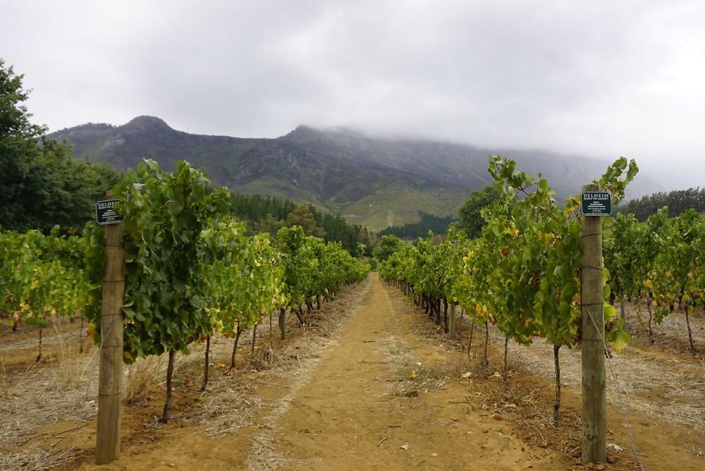 Delheim vineyard Stellenbosch