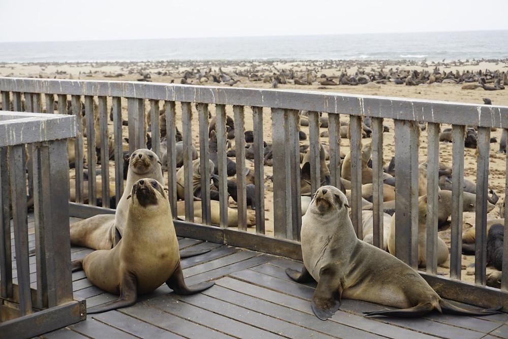 Seals on Cape Cross Seal Colony walkway