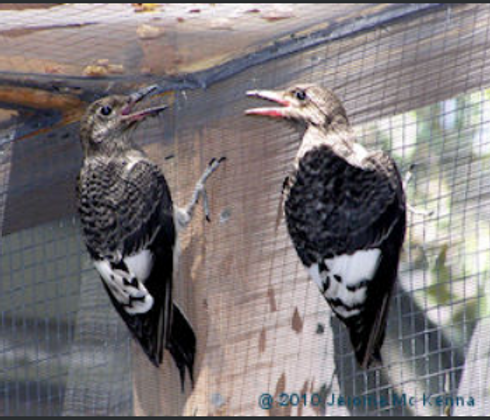 Young Red-headed Woodpeckers