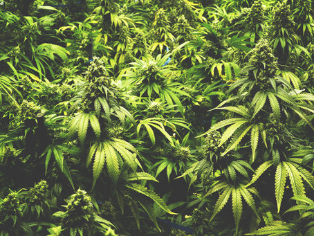 Radio New Zealand: Firms seek $30m to set up cannabis operations