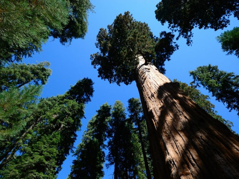 ต้นไม้ที่สูงที่สุดในโลก