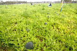 Thoddoo Watermelon agriculture