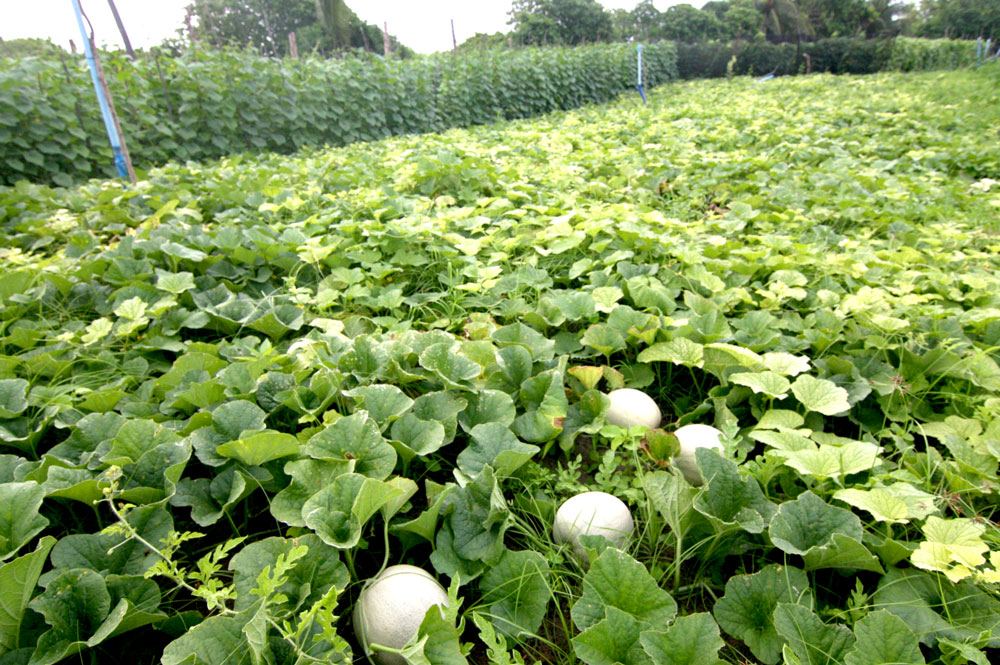 Thoddoo Melon field