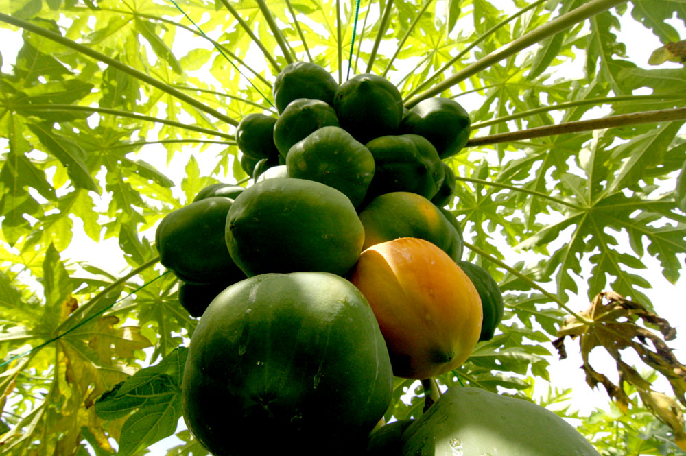 Papaya field