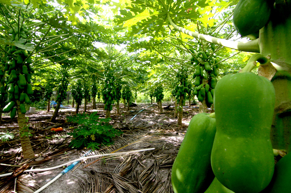 Thoddoo green papaya field
