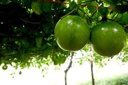 pension fruit  field