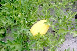 Thoddoo watermelon field