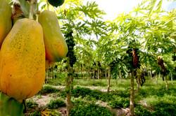 Thoddoo papaya field