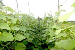 Thoddoo  agriculture