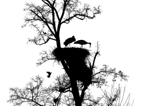 Cigognes