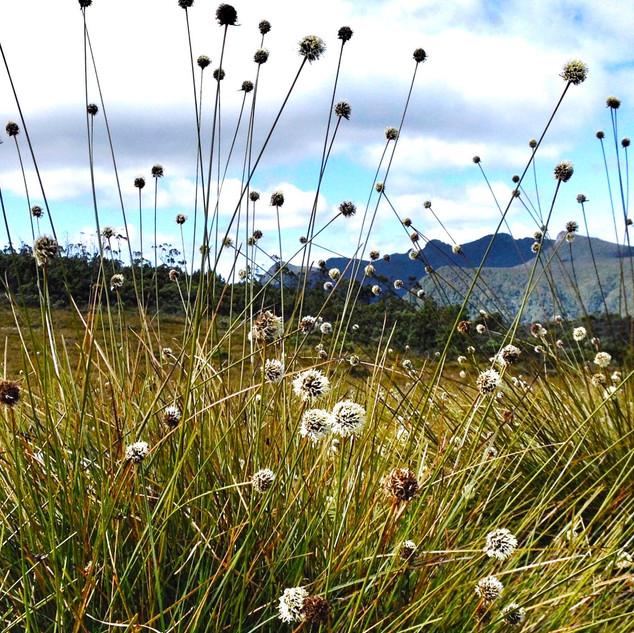 Button grass, south west wilderness, Tasmania