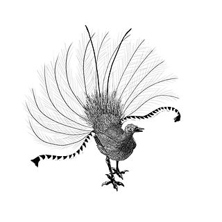 lyrebird flat 8.jpg