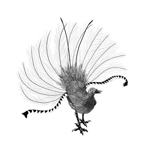 'Superb Lyrebird'